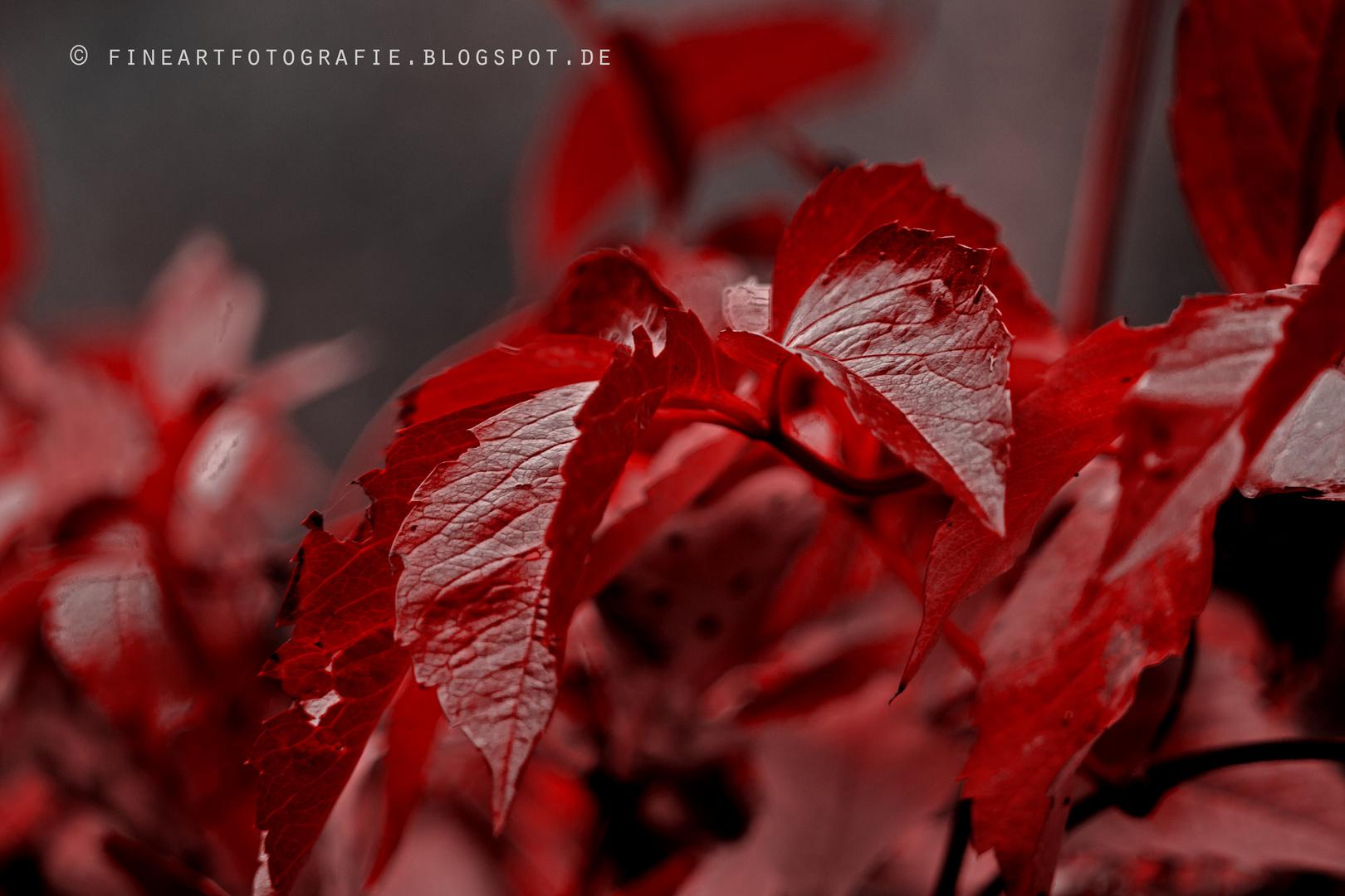 Herbst - Weinblätter färben sich rot