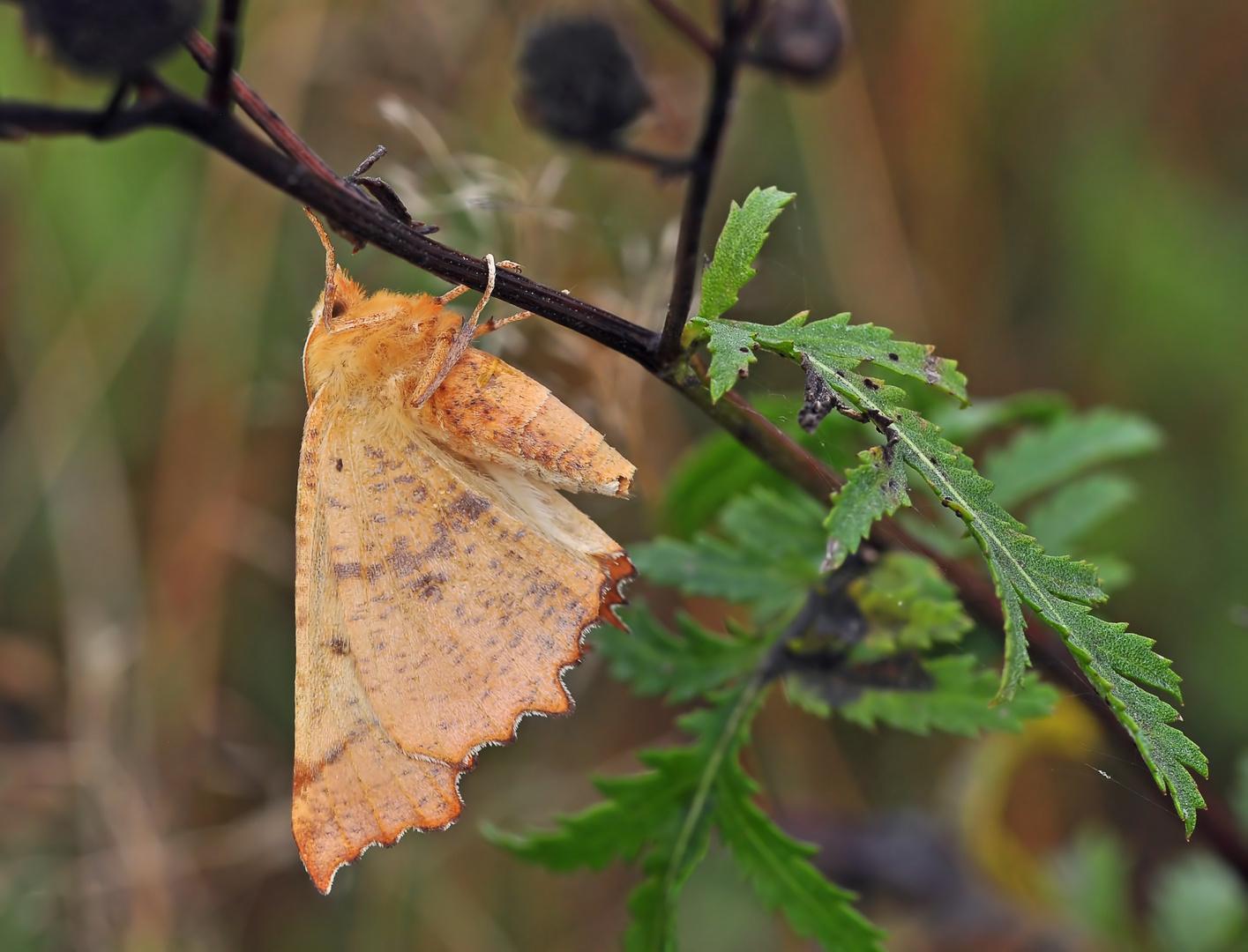 Herbst-Zackenspanner #2