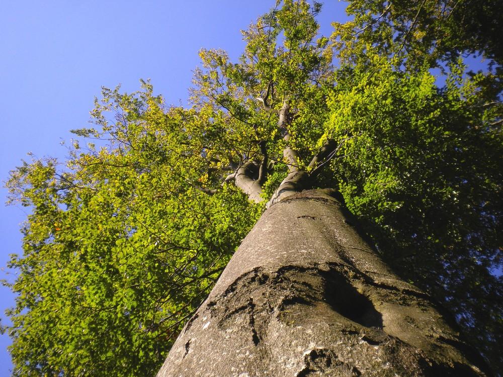 Herbstanfang 2009 Buche hoch und majestätig