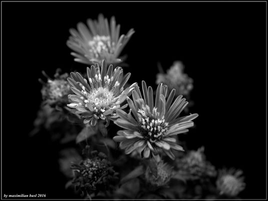 Herbstaster s/w
