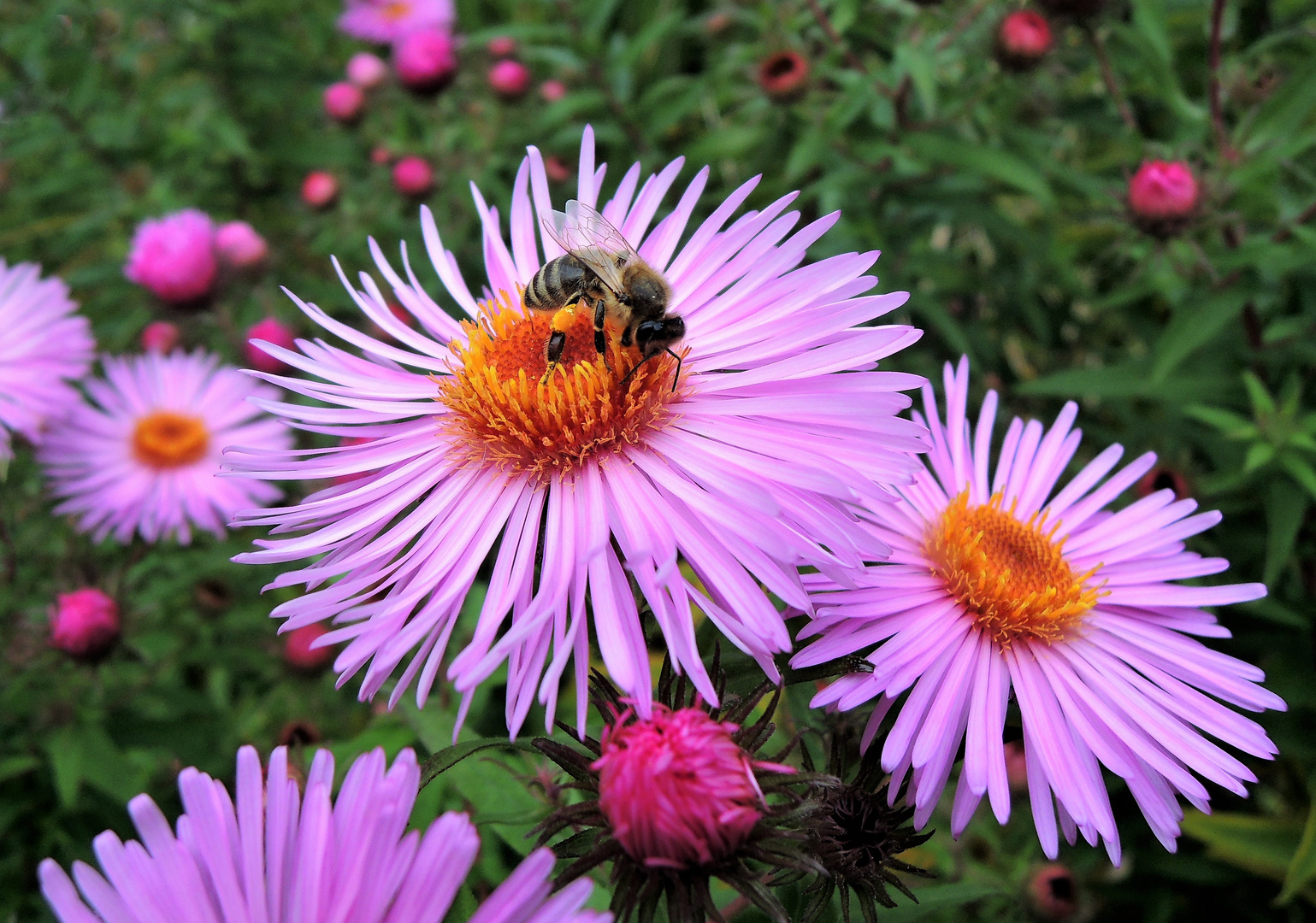 Herbstastern mit einem fleißigen Bienchen