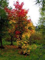 Herbstbaum in Hinterzarten