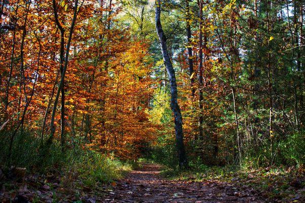 Herbstbild Waldweg Laubfarbenspiel Nürnberger Reichswald