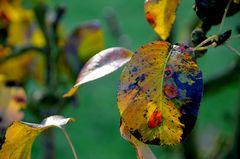 Herbstblätter im Klostergarten von Seligenstadt #  5216
