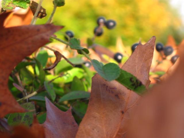 Herbstblätter und Beeren