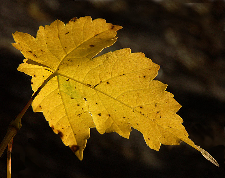 Herbstblatt #1