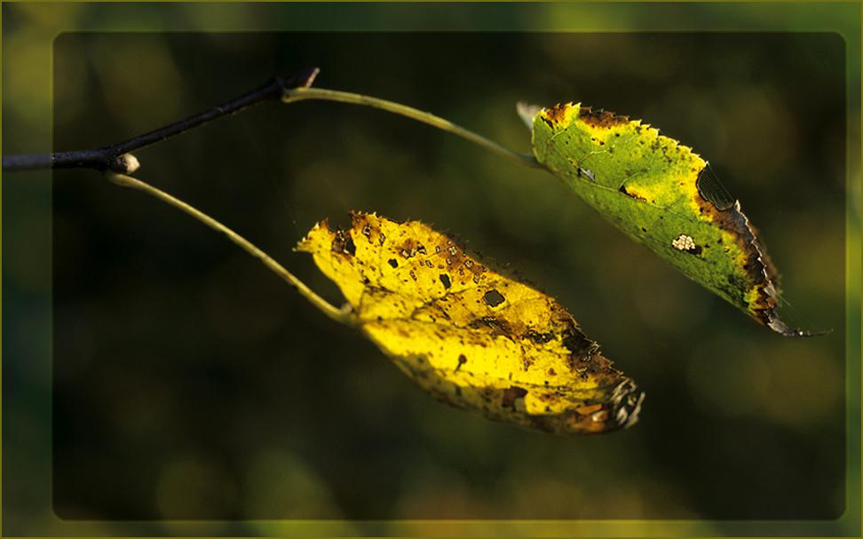 Herbstblatt im abendlichen Gegenlicht