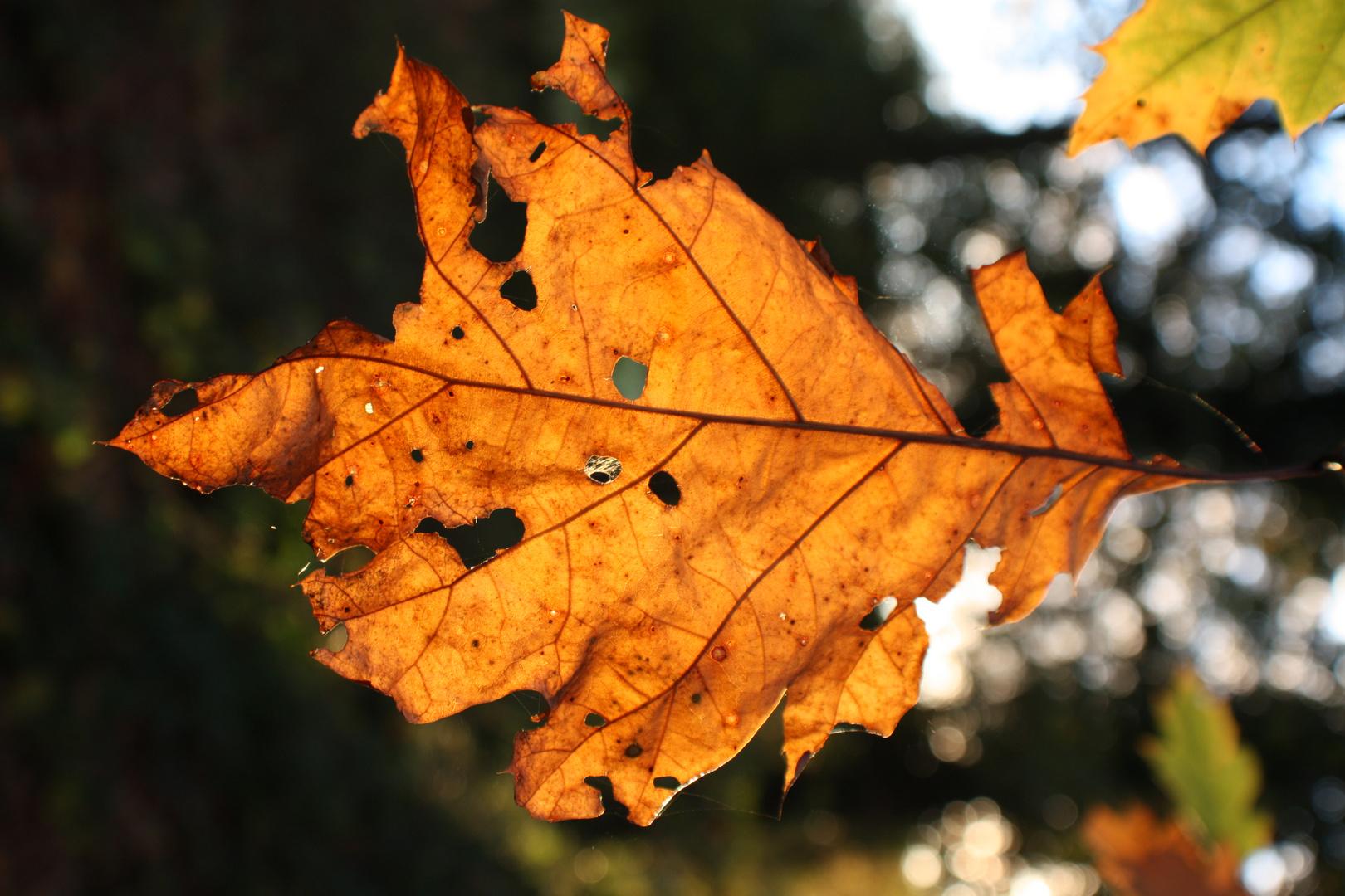 Herbstblatt im Sonnenlicht