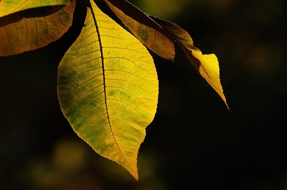 Herbstblatt, klassisch
