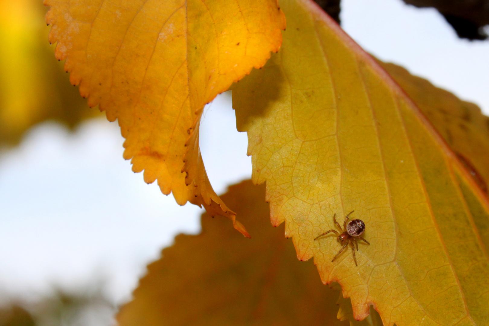 Herbstblattbewohner