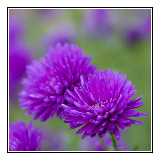herbstblumen foto bild pflanzen pilze flechten bl ten kleinpflanzen natur bilder auf. Black Bedroom Furniture Sets. Home Design Ideas