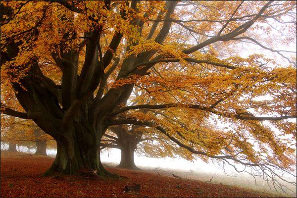 Herbstbuche 02