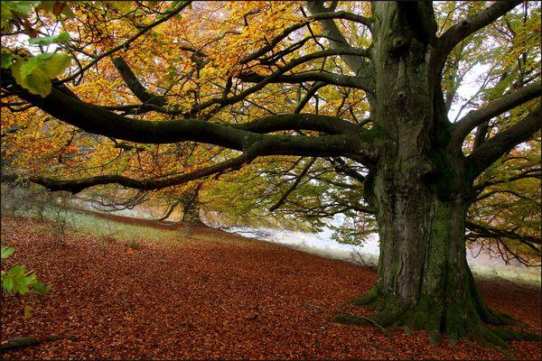 """""""Herbstbuche"""""""