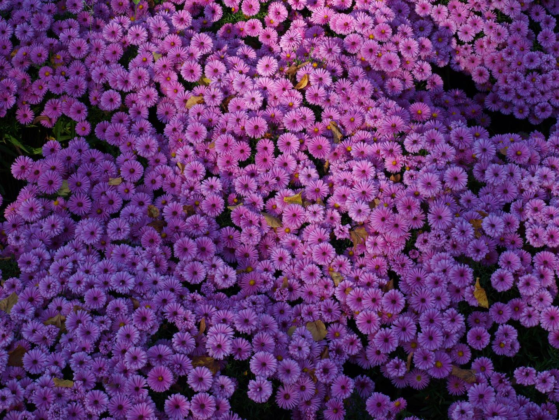 Herbstchrysanthemen