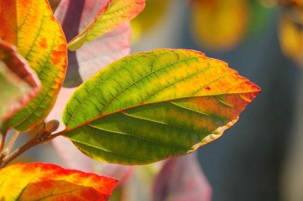Herbstfärbung Federbuschstrauch