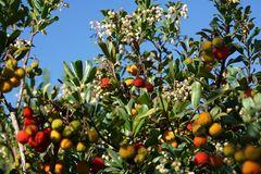 Herbstfrüchte auf Mallorca