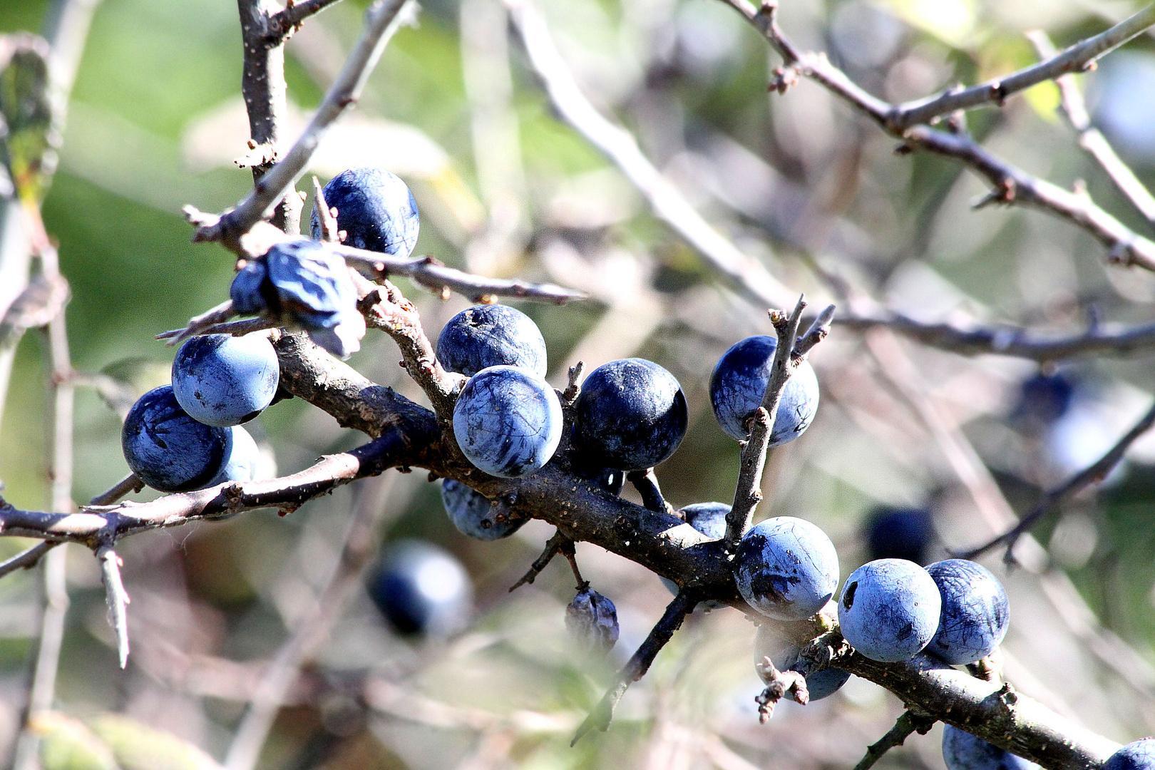 Herbstfrüchte für einen guten Schnaps...................Schlehenfeuer
