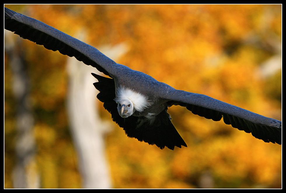 Herbstgeier