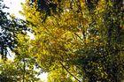 Herbstgold in den Bäumen...