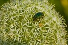 Herbstimpressionen - die letzten Insekten auf den letzten Blüten