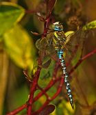 Herbstjungfer (Aeshna mixta)