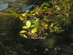 Herbstlaub an der Innerste