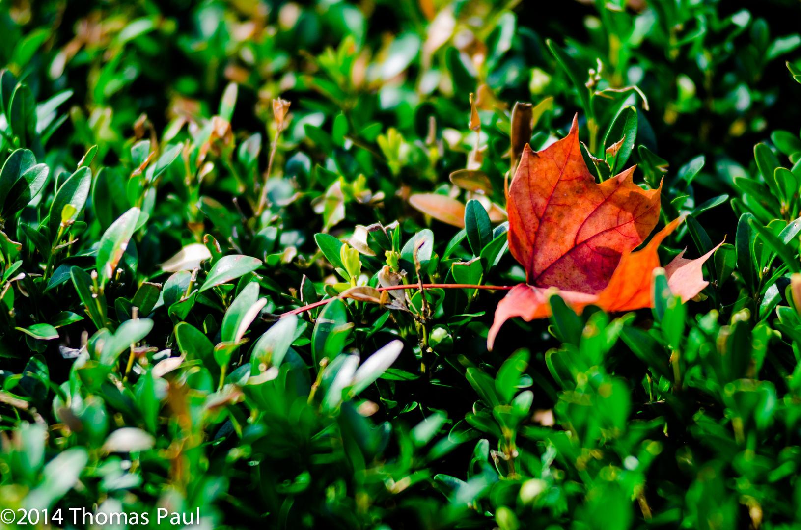 Herbstlaub auf Hecke