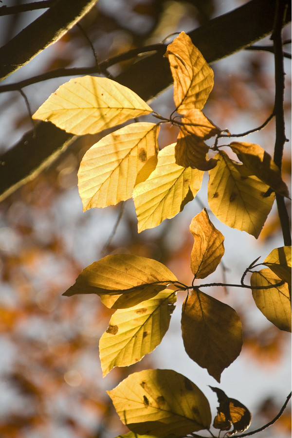 Herbstlaub im Gegenlicht
