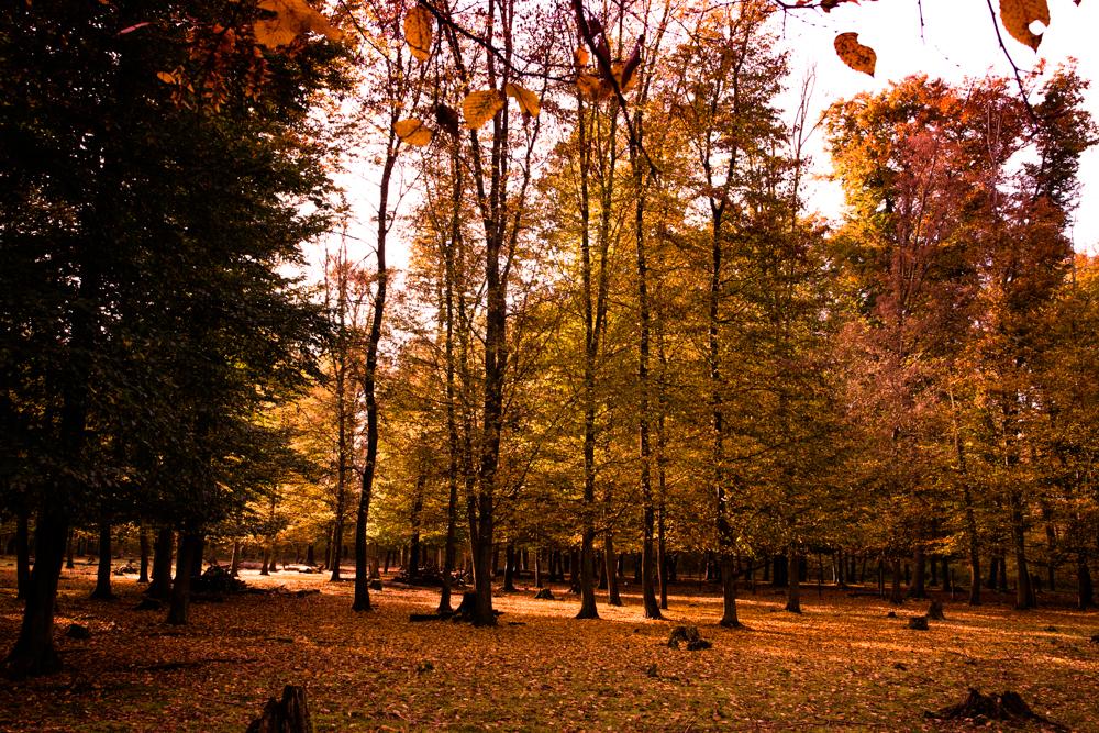 Herbstlaub in Hambrücken