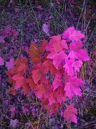 Herbstlaub in Violett