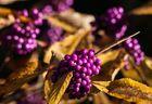 Herbstleuchten der Liebesperlen