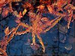 Herbstlich - (Taxodium distichum),