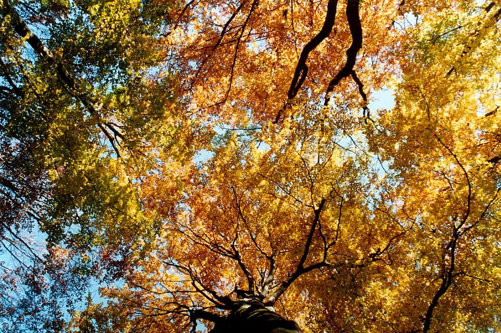 Herbstliche Baumkronen
