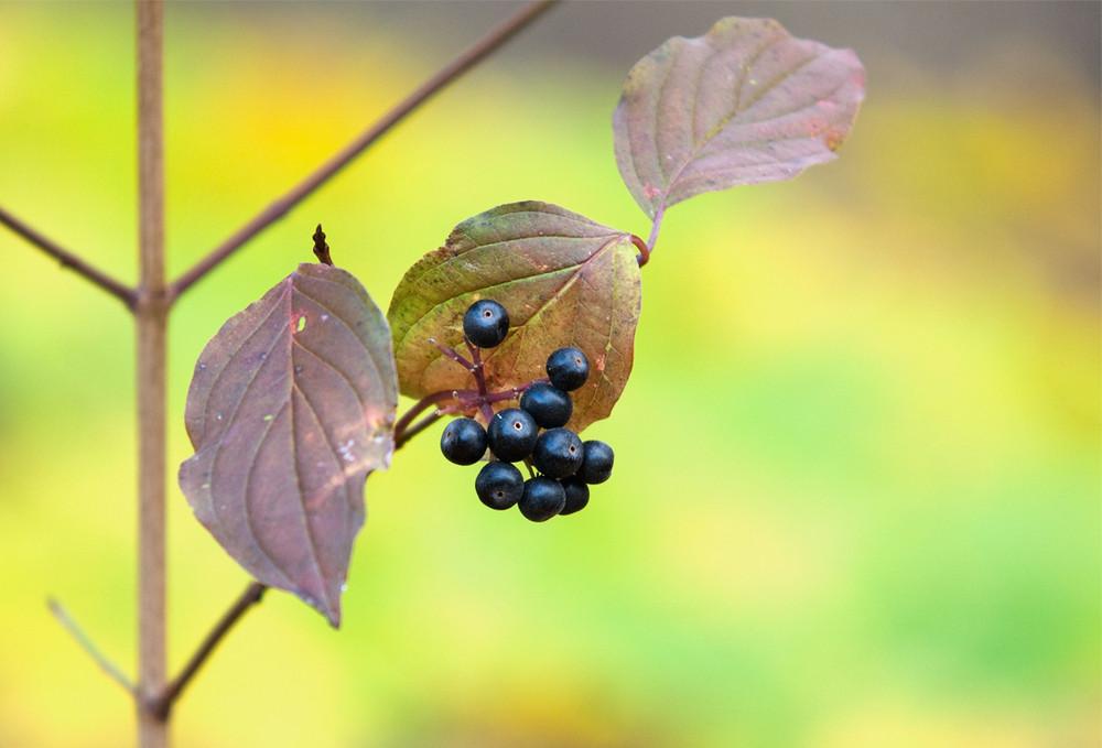...herbstliche Beeren ...