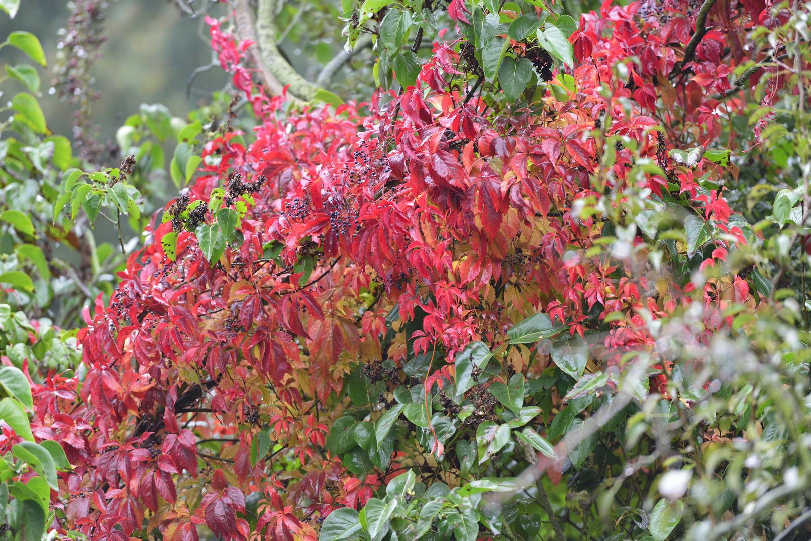 Herbstliche Gartenhecke im Regen