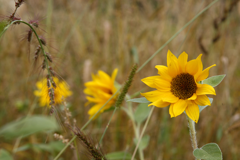 herbstliche Sonnenblume