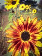 Herbstliche Sonnenblumen