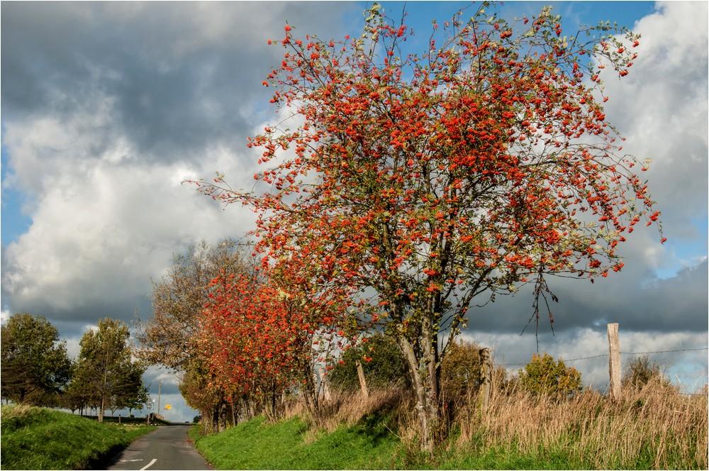Herbstliche Vogelbeersträucher