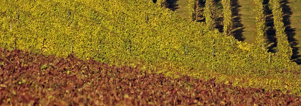 Herbstliche Weinberge II…