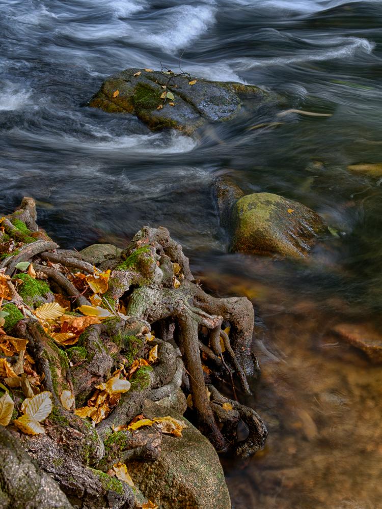 Herbstliche Wurzeln an der Bode