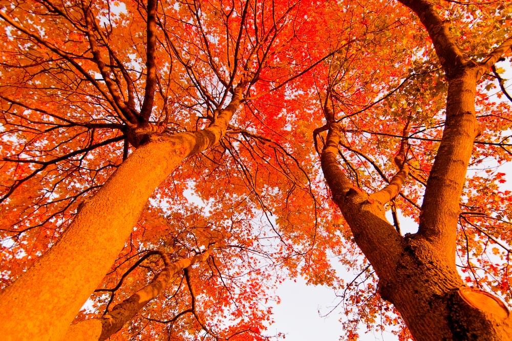Herbstlicher Ahorn
