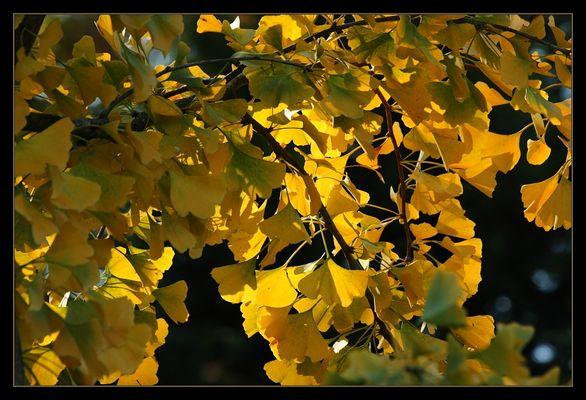 Herbstlicher Ginkgo-Baum