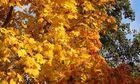 Herbstlicher Spitzahorn