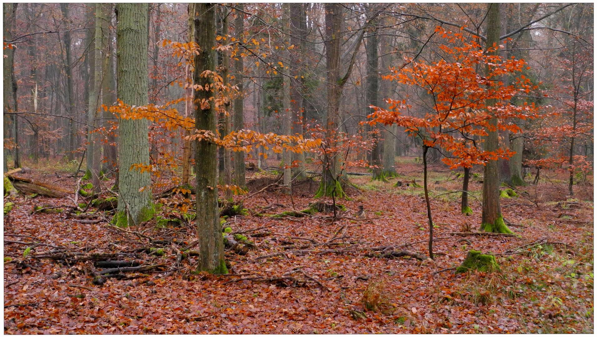 herbstlicher Wald (Bosque otoñal)