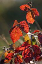 Herbstliches Brombeerlaub