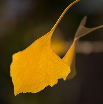 Herbstliches Ginkoblatt