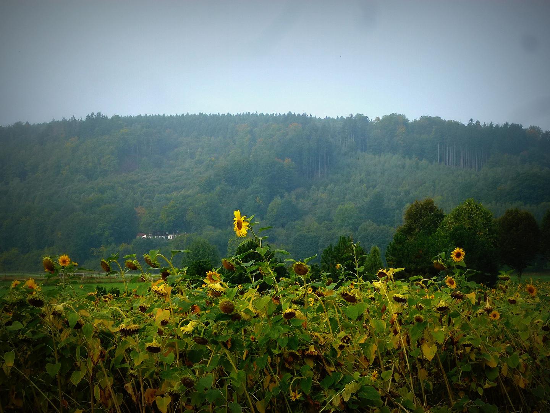 -Herbstliches Sonnenblumenfeld...Ende der Blüte-