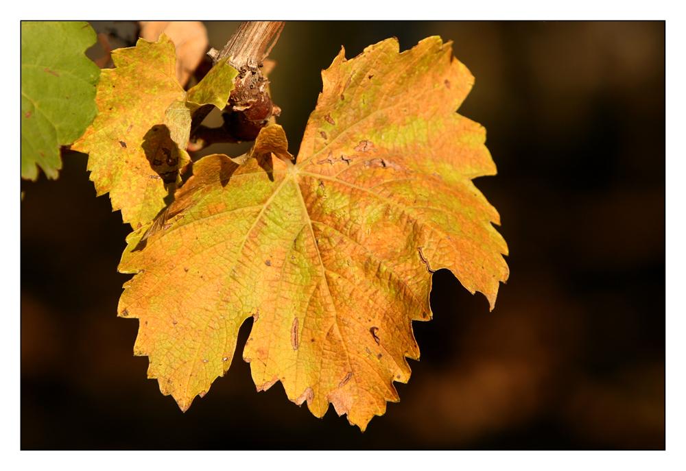 Herbstliches Weinlaub (I)
