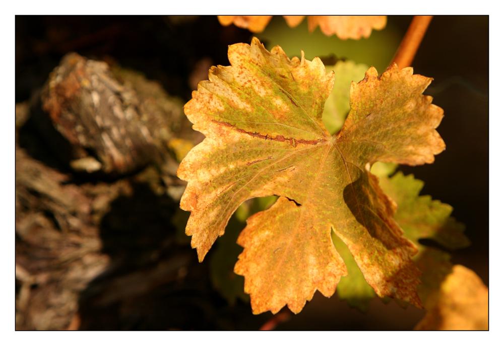 Herbstliches Weinlaub (II)