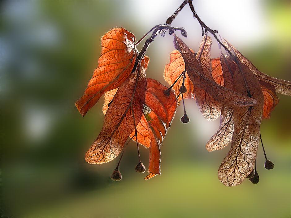 Herbstlinde